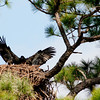 Eaglet - Just doing a little flying around the nest