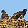 Eaglet - Both siblings