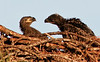 Palm Bay Eagle's Nest -  A little squabbling going on