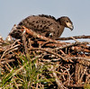 Palm Bay Eagle's Nest - Look how big I'm getting