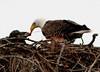 Palm Bay Eagle's Nest - Parent feeding the Eaglets
