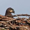 Palm Bay Eagle's Nest - Head-shot of the Eaglets