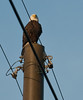 Parent Eagle on the Power Pole being a look out