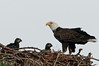 Palm Bay Eagle's Nest - The Parent and the 2 Eaglets