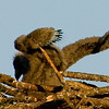 Eaglet flopping its Wings,