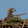 Avian Eaglet (Right)