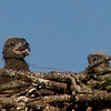 Healthy Eaglet (Right)