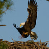 Eagle carrying Pine Needles to the nest