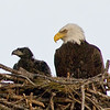 Eaglet and Parent