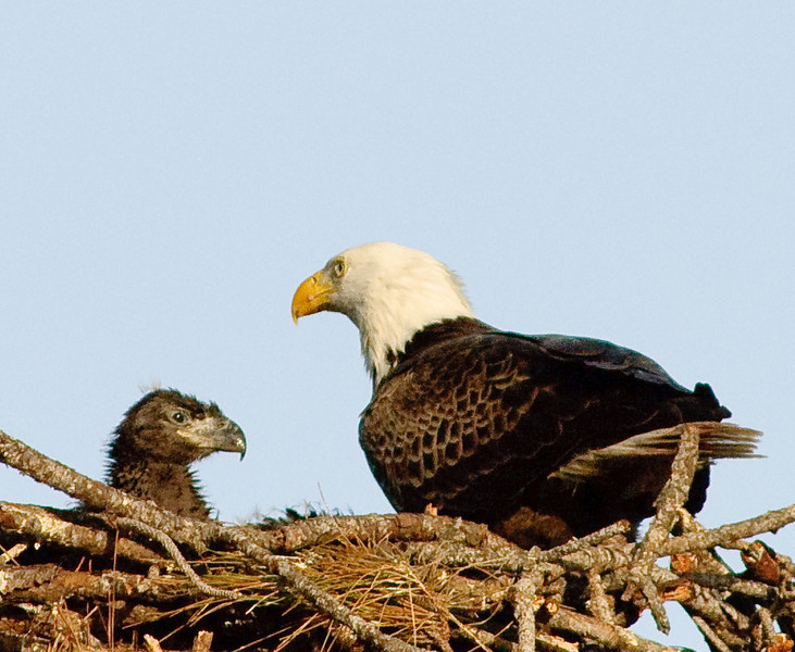 Healthy Eaglet and Parent