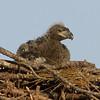 Avian Eaglet