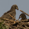 Avian Eaglet on Lelt and Healthy on Right