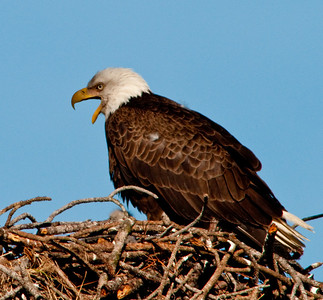 Listen here Eaglets, I'll feed you when I'm ready