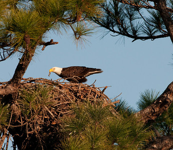 One of the parents is in the process of tearing the food apart  for its Eaglets.
