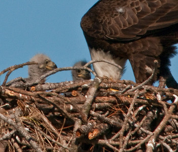 Mom tearing more food up for the Eaglets