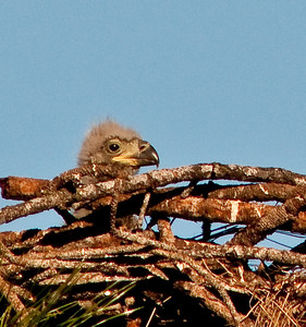 One of the Eaglets