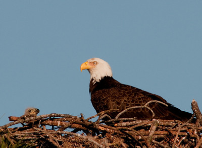 The parent and the Eaglet
