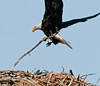 Incoming parent Eagle with some new nesting material