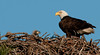 The parent and Eaglet