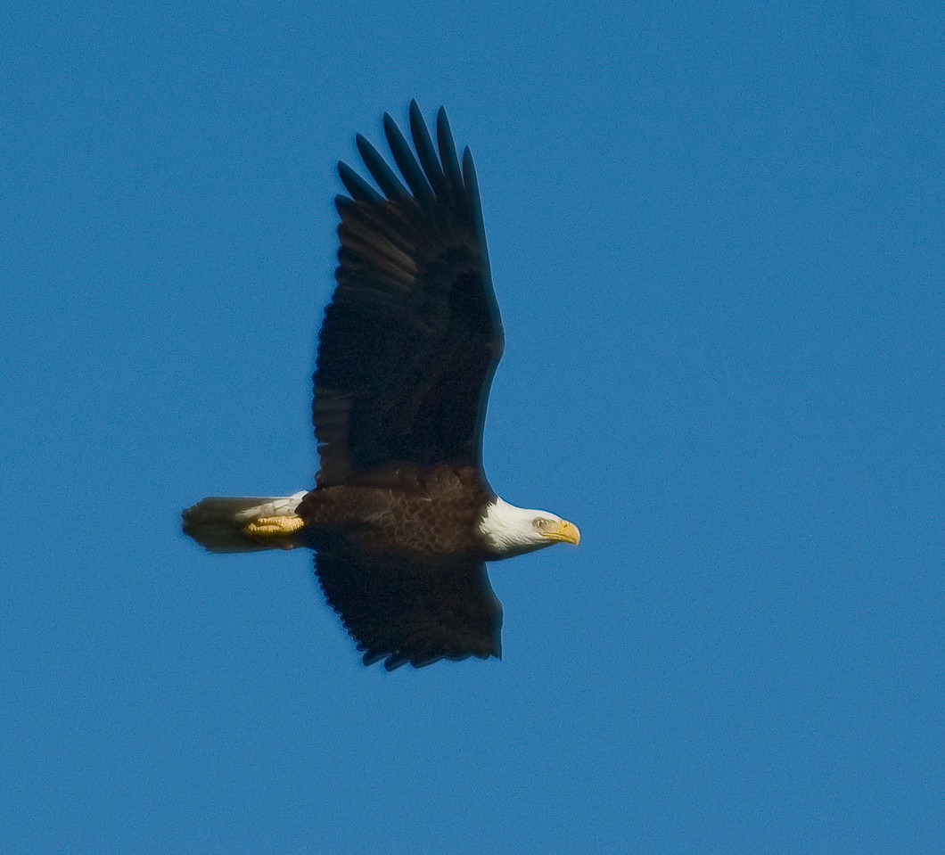 Eagle in flight to protect Eaglets from 3 Vultures