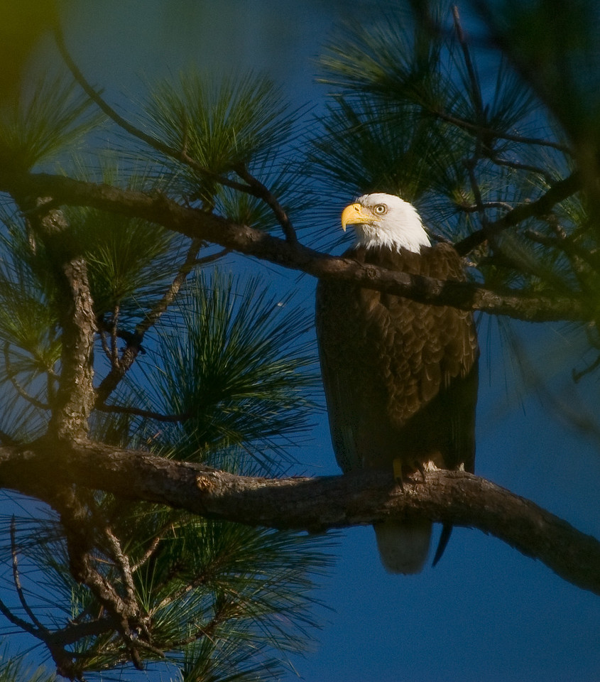 Located this Eagle perched on the right side of the nest behind few pine trees