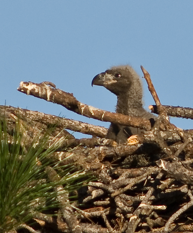 The Eaglets are about 3 week old in the nest