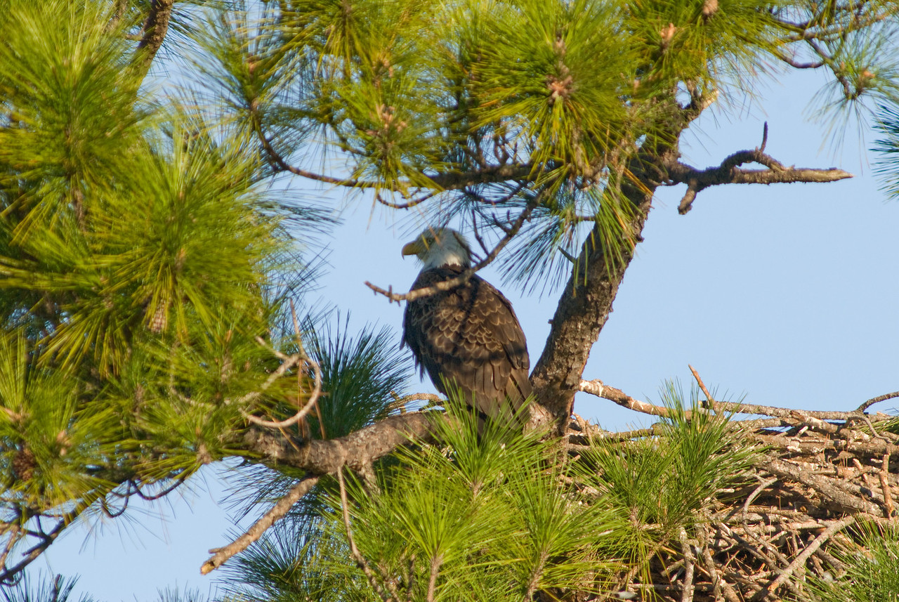 Parent on watch on the left of its nest