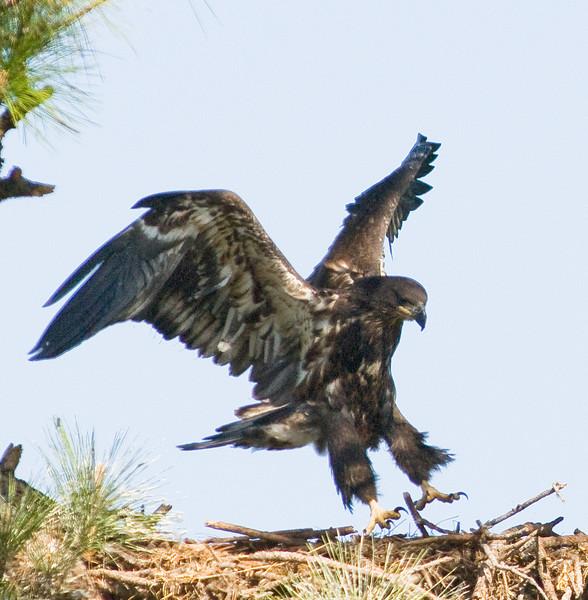 Eaglet - landing