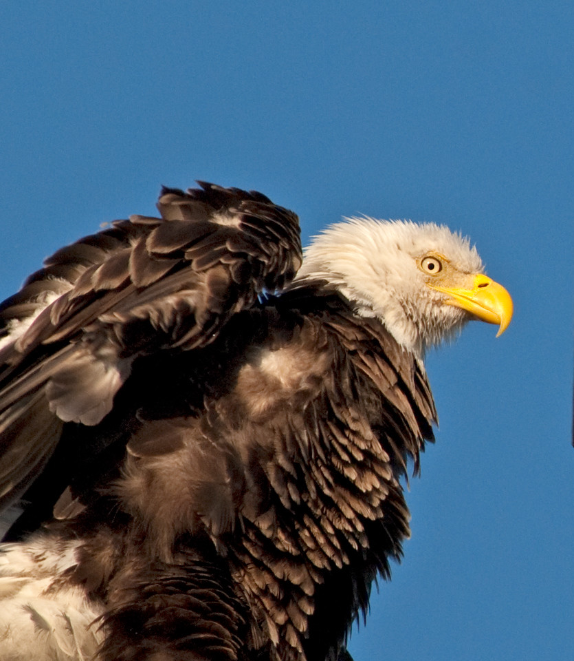 Bald Eagle - A little shaking going on