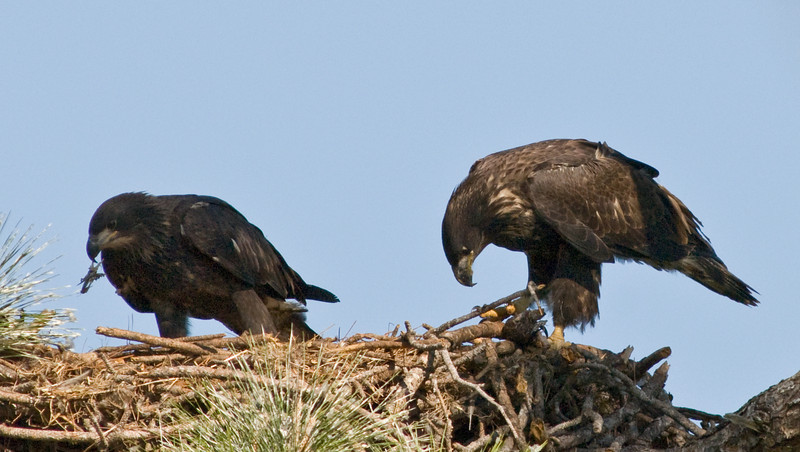 Eaglet - busy eating