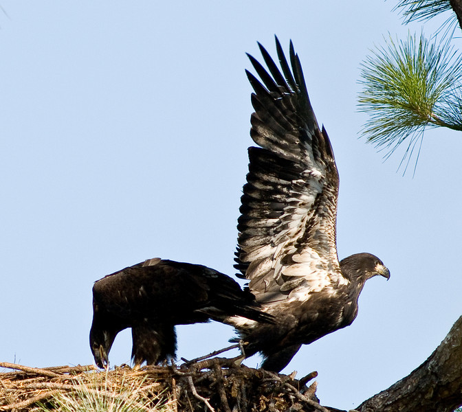 Eaglet - taking off