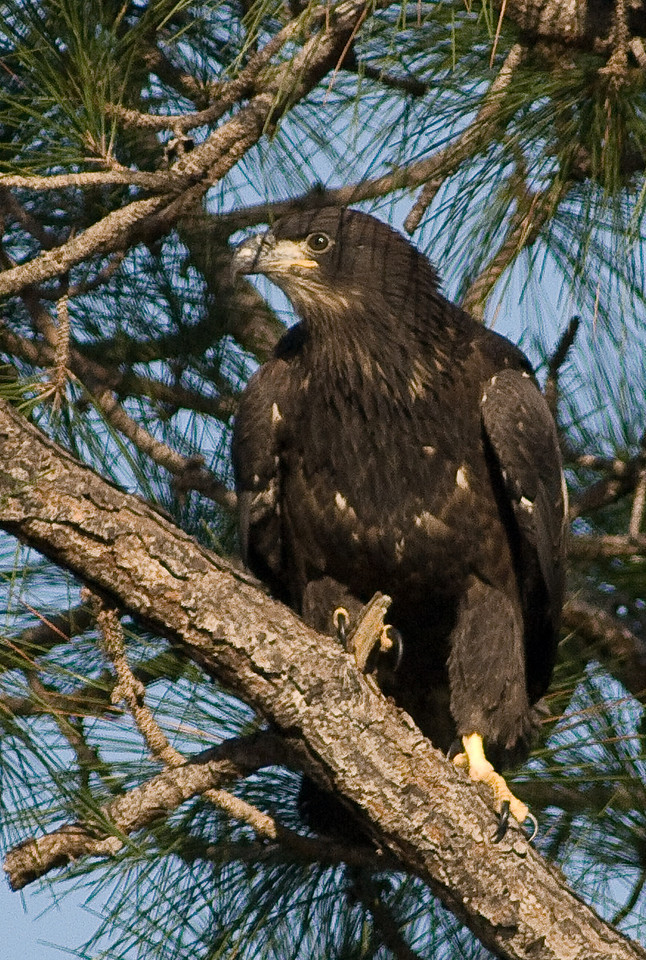 Eaglet - in a tree on the left side of the nest
