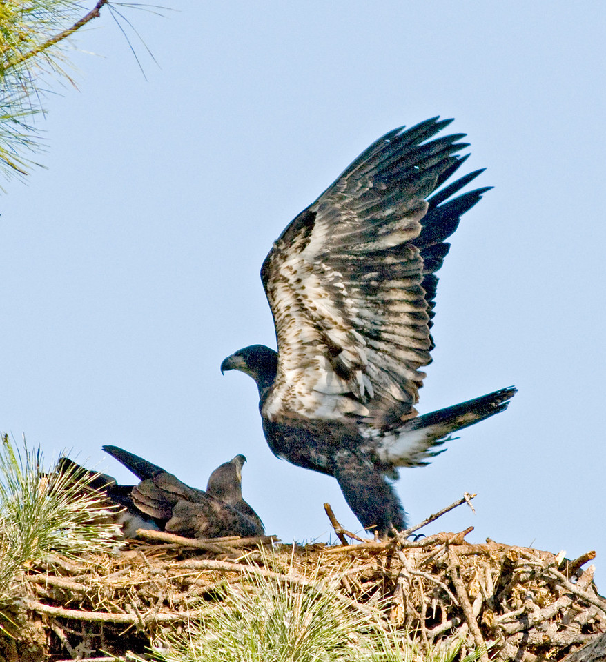 Eaglet  - taking off