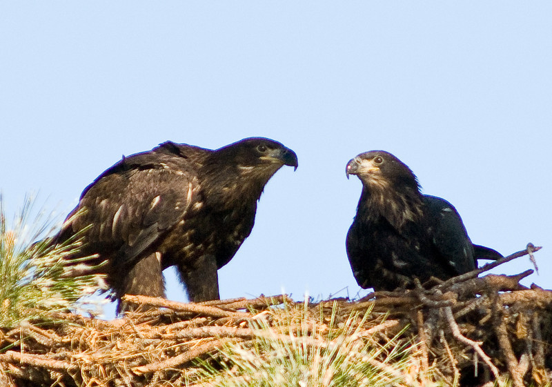 Eaglet - beak to beak