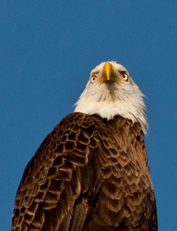 Bald Eagle - Eyes Forward