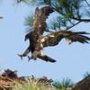 Palm Bay Eagle's Nest - In for a landing