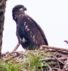 Just a Bald Eaglet portrait image