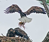 Here comes mom with some grass!  The Eaglets are screaming at her, where is the good food?