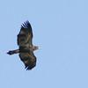 Eaglet In Flight