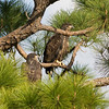 Palm Bay, Florida Eagle Nest - The Eaglets are about 9 weeks old now - The Eaglets are keeping close together