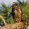 Palm Bay, Florida Eagle Nest - The Eaglets are about 9 weeks old now - Just hanging around
