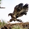 Palm Bay, Florida Eagle Nest - The Eaglets are about 9 weeks old now and are starting to fledge from their nest