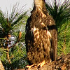 Palm Bay, Florida Eagle Nest - The Eaglets are about 9 weeks - Big yawn!
