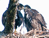 The Eaglets are preening one another.