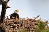 One of the baby Bald Eagle's parents sitting in the nest for about 5 minutes, and then it is off.