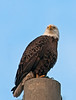 Bald Eagle portrait on top of the power pole