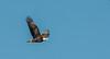 Adult Bald Eagle flight