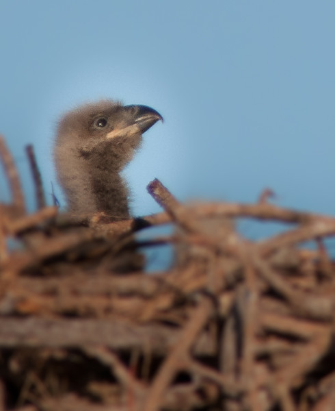One of the 2 baby Bald Eagles from the Melbourne Eagle's nest.