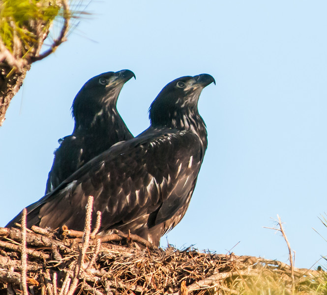 • Activities In The Melbourne Eagle's nest<br /> • Is that mom coming with some food?