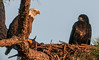 • Activities In The Melbourne Eagle's nest<br /> • Where is the other Eaglet hiding